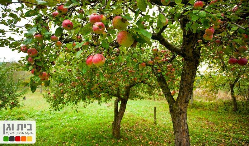 התפוח: הסלב של הפירות