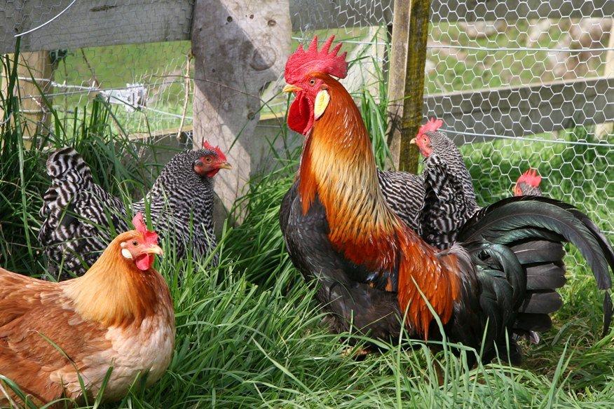 לול תרנגולות בחצר: ביצים בשבילנו ואוכל בשבילן